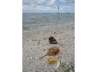 Horseshoe crab shells on the intracoastal beach.