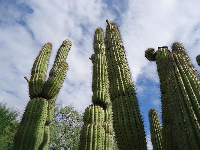 Saguaro cacti are the cutest of all.
