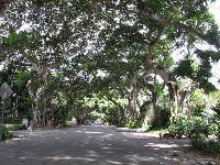Amazing canopy of fig trees in Coral Gables.