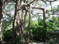 It's a joy to behold the banyan tree in Cypress Gardens.
