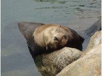Content face of a sleeping seal.