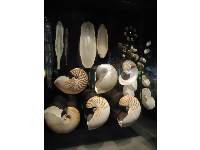 Beautiful nautilus shells.