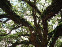 Lush oak tree, just what you expect in the South.