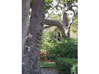 Tree with knobby trunk.