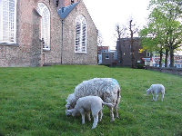The lambs in the church yard.