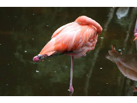 Flamingo sleeping.