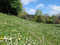 Hillside covered in tiny daisies!