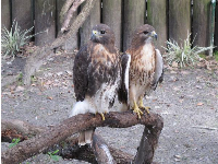 Red-tailed hawks.