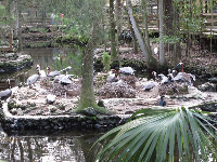 Pelicans in a tropical paradise.