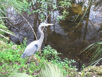 Great Blue Heron, always alert.
