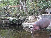 Hippo making his way in for a swim.