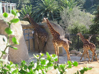 The baby giraffes.
