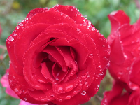 Red rose and silver dew drops.