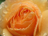 Yellow rose with dew drops.