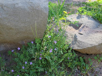Flowers by a boulder.