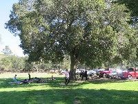 A large family picnic under a lovely tree, in the park.