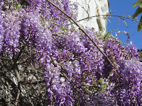Purple wisteria, in early March- amazing!