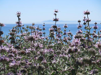 Lilac-colored flowers and sea.