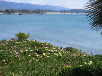 Looking toward the white cliffs of Goleta Beach, from Lagoon Rd. April flowers!