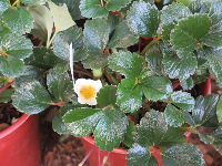 Beach Strawberry in a pot. What glossy leaves!