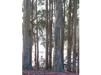 I love the bark of eucalyptus trees!