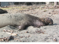 What a funny dangling nose the elephant seal has! It's called a proboscis.