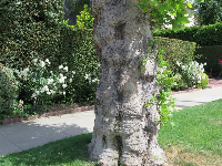 Knobby tree on South Rodeo Dr.