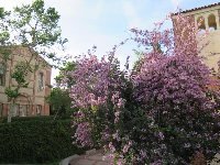 Fowler Museum and Glorya Kaufman Hall, with blossoming tree.