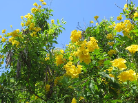 Looking up at a yellow flowering tree!