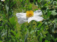 White rock rose.