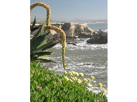 Cactus, clover, purple succulents, and Dr Suess-like plants hang above stunning coastline.