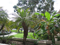 Banana trees and palm.