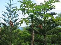 Papaya tree and Norfolk pines.