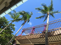 Looking up at palm trees and blue sky from the International Marketplace.