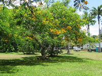 Yellow flowering tree in Fort DeRussy Park.