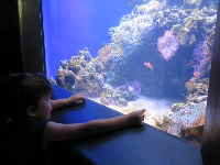A boy looks into a tank full of coral and fish.