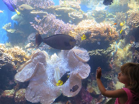 A little girl interacts with a fish by a giant clam.