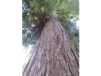 Beautiful redwood tree.