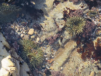 Sunburst Anemones in a rock pool.
