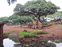 The giraffes really look like they're in Africa.