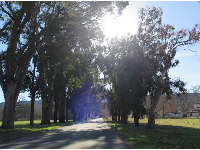 Allee of Eucalyptus trees at the entrance.