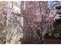 Rosaries hung on a cherry blossom tree.