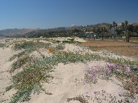 Flowering creepers on the dunes, and Ventura's yellow-brown hills in the background.