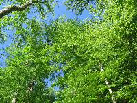 Looking up at the trees, near Umstead Park.