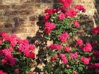 Dark pink roses and brick wall.