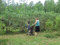A family going blueberry picking.