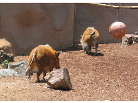 These red hogs are really comical looking- great fun!