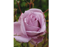 Lilac rose.