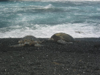 Turtles at Punalu'u Black Sand beach.