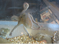 Small octopus at the sea center! Look at him go!